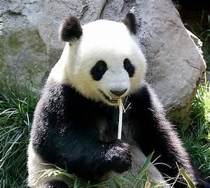 Exploring Panda Bear Cuteness - Animal Fact Guide