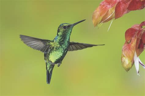 hummingbirds can fly upside down animalanswers co uk