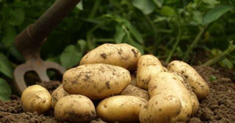pomme de terre en chambre les pommes de terre primeur et les pommes de terre
