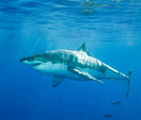 Fotos Y Galería De Imágenes De Tiburones De Kidzone