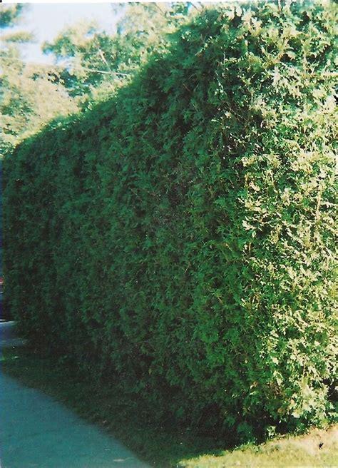 ontario white cedar hedge gro  gardens hedges