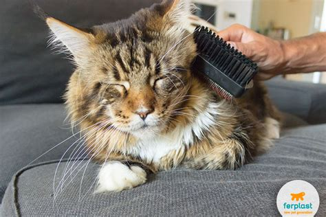 Do Maine Coons Shed Their Mane by Maine Coon This Cat S Character And Needs