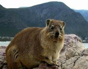 Picture 8 Of 9 Rock Hyrax Procavia Capensis Pictures Images Animals A Z Animals