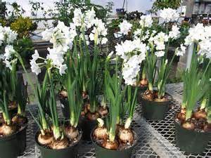 paperwhite flowers plants flowers bunch flowered narcissus