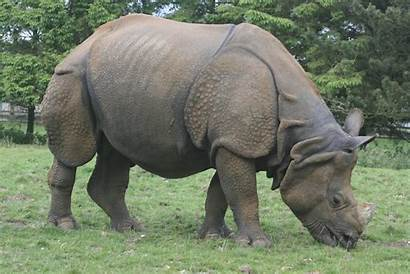 Rhinoceros Indian Rhino Animal India Wildlife Species