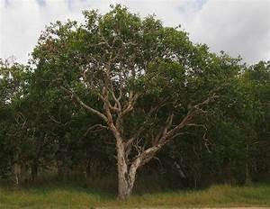 Melaleuca viridiflora - Wikipedia