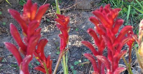 chaise prune how to care for and prune kangaroo paw plants basil and