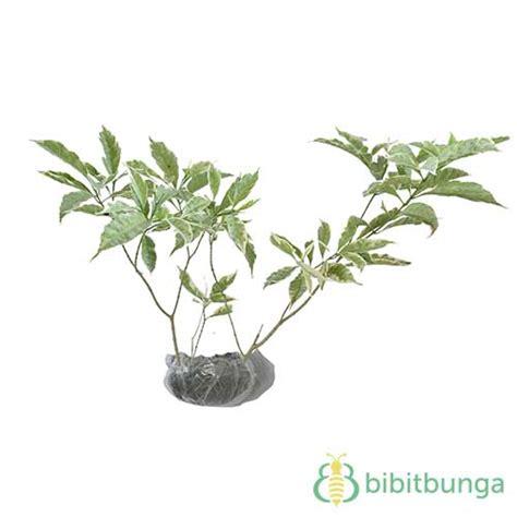 tanaman rombusa putih bibitbungacom