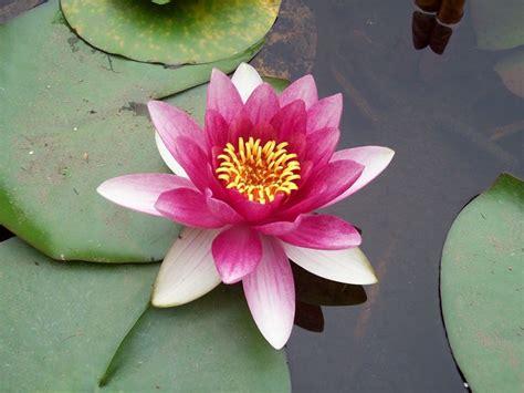 fior di loto il fiore di loto fiori in giardino caratteristiche