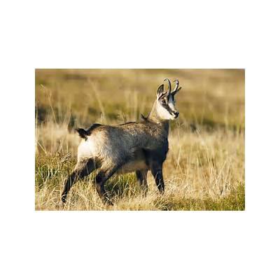 Chamois Alpine chamoisChamois chamois Rupicapra