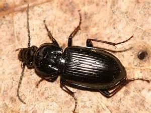 Black Ground Beetle Identification