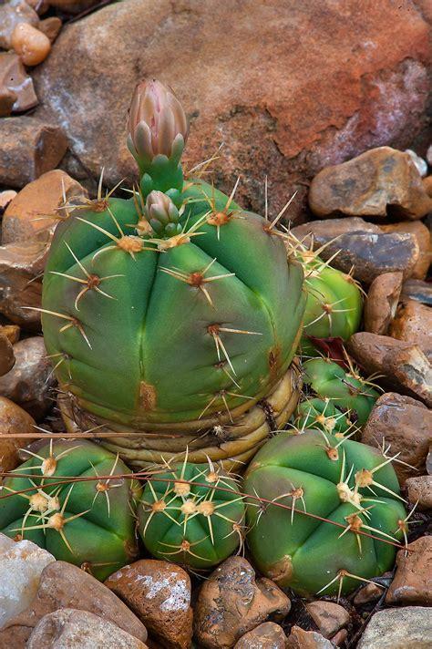 Gymnocalycium uebelmannianum   Cactus pictures, Cactus, Plants