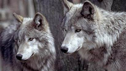 Wolf Wallpapers Animals Couple Under Move Birds