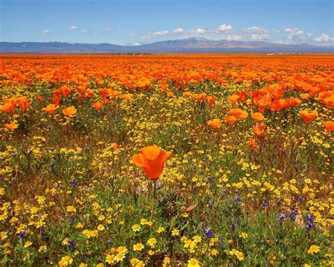 california poppy wallpaper hd wallpapers