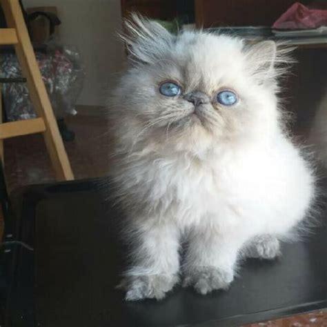 gatti persiani roma gatti persiani cuccioli animali settembre clasf