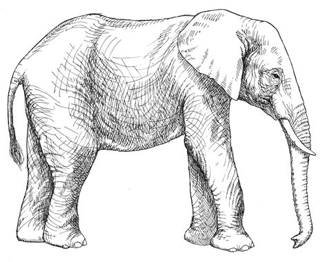 drawn asian elephant coloring page pencil   color