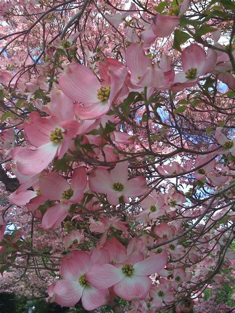 pink dogwood tree care 348 best dogwood images on pinterest dogwood trees dogwood flowers and blossoms