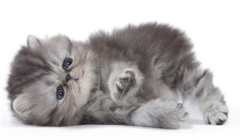 Gatti Persiani Gatto Persiano Carattere Abitudini Cure Di Questa Razza