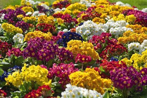fiori da giardino perenni giardinaggio tipologie di fiori perenni da