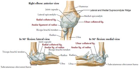 Elbow Ligament Anatomy - Musculoskeletal Learning Portfolio