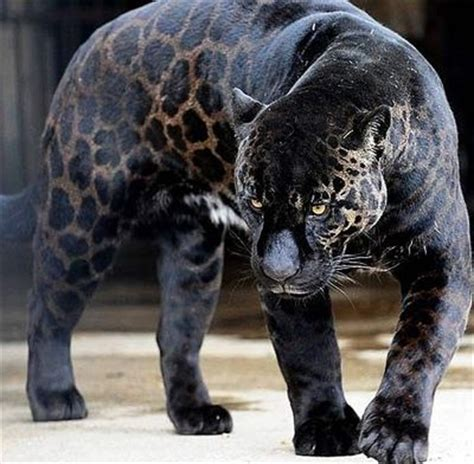 Football Wallpapers For Bedrooms by Jaguar As You Might Know Most Jaguars Are Covered In