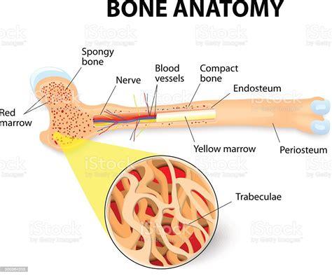 Bone Anatomy Stock Vector Art And More Images Of Anatomy