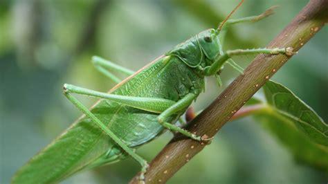hd hintergrundbilder grashuepfer close  insekten gruen