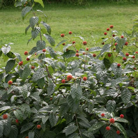 Cephalanthus Sugar Shack® at Wayside Gardens