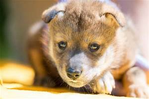 Pupdate: First Mexican wolf born using artificial ...