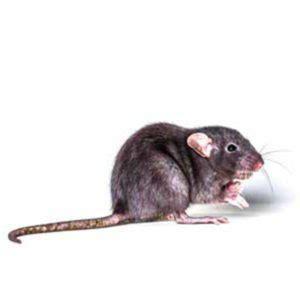 norway rats pioneer pest management pest control