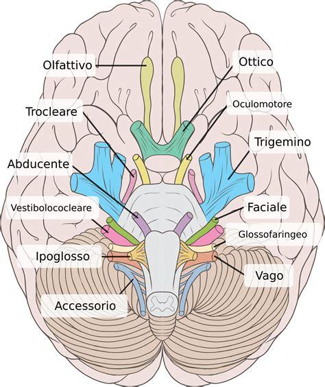 brain test italiano nervo abducente vi nervo craniano vi par craniano nervo
