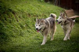 Alaskan Malamute Vs. Siberian Husky: Which Dog Makes a ...