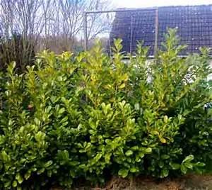 Kirschlorbeer Pflanzen Abstand : gartenhecken farbige duftende und beeren tragende hecken ~ Lizthompson.info Haus und Dekorationen