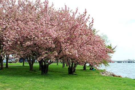 cherry blossom tree l the best places for cherry blossom festivals in the us