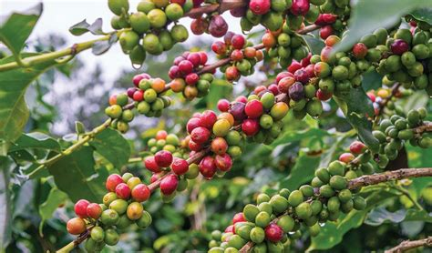 Arabica Stir Tea & Coffee Industry International Brewing Coffee Tips Nescafe Machine Price In Patna Unroasted Beans Automatic Office Singapore The Old-fashioned Way Spanish Decaf Carajillo