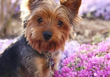 Happy Days Yorkshire Terrier Rescue / Rescue Review