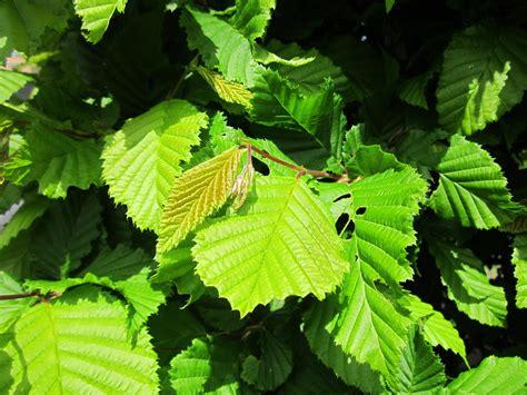 hainbuche carpinus betulus hainbuche wei 223 buche hecke carpinus betulus kaufen