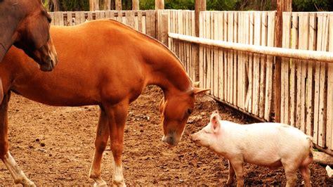 pig horse