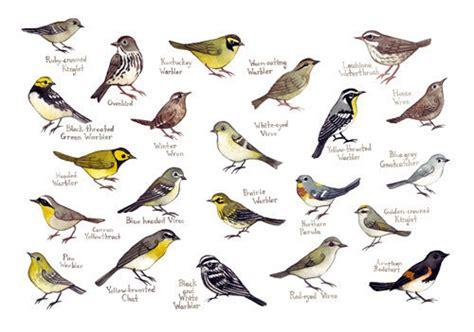 carolina warblers bird field guide style by katedolamore