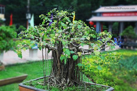bodhi tree images bodhi tree bonsai