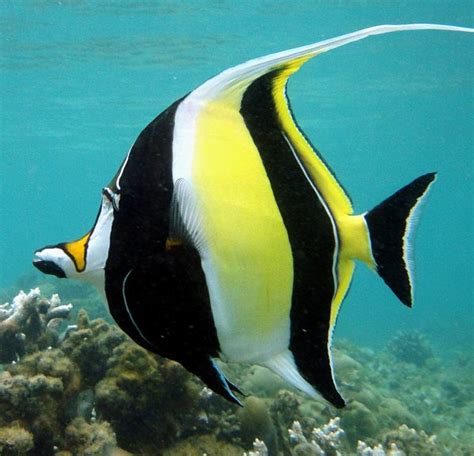 Moorish Idol - Fishy Bizness Aquatics