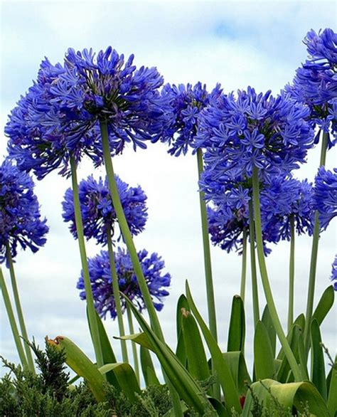 of nile flower lily of the nile rare love flower of the ancient world