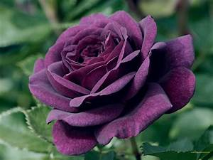 Purple Rose Flower - The Variations Available and Their ...