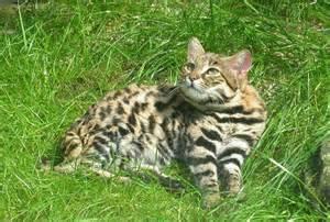 black footed cat black footed cat felis nigripes black footed cat