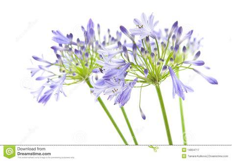 afrikanische lilie überwintern afrikanische lilie lizenzfreie stockfotografie bild 14834717