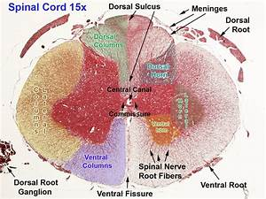Image Result For Spinal Cord Histology