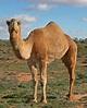 Camel - Simple English Wikipedia, the free encyclopedia