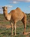 Camel - Wikipedia