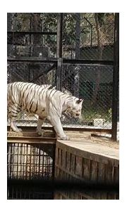 White Bengal Tiger Funny Moments - YouTube
