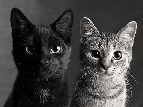 Красивые черно-белые фото кошек. ФОТО